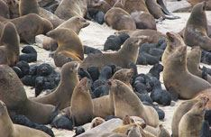 Cape Cross Seal Colony Tour with Kallisto Tours